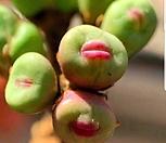 파가에 ssp 2두 뿌리무