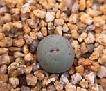 파가에서브리즘(C.pagaea subrisum)