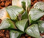 콤프토니아 x 코렉타 금(comptonia x correcta variegate)-01-01-No.1337