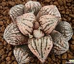 픽타 홍공작(紅孔雀) 자구 중묘 (Haworthia picta Beni-Guzaku, offset)