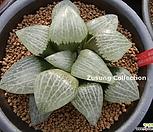 백유리(白瑠璃)컴프토 자구 (Haworthia comptoniana Shiroruri, offset)