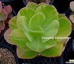 팔리다금 (Echeveria pallida variegated)