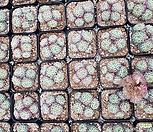 일본원종미니마5두 랜덤발송