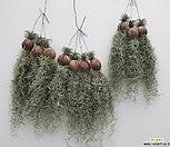 탱탱한 수염 틸란드시아 이오난사 행잉플랜트 공중식물 공기정화식물 틸란드시아