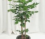 녹보수 공기정화식물