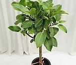 벵갈고무나무 공기정화식물