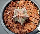 홍엽란봉옥금/홍엽난봉옥금-431 (실생,W:3.2cm) 품질보증
