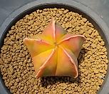 황엽란봉옥금/난봉옥금-432 (실생,W:4.5cm) 품질보증