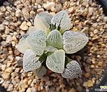 하기와라 피그마에아 금 - tc (Haworthia pygmaea varieagted, tc)