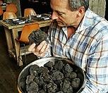 국내 최초 판매~♥블랙 트러플 트리♥페리고르 블랙 트러플 품종♥흑송로버섯나무♥송로버섯