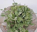 화이트디시디아 틸란 행잉플랜트 공중식물 공기정화식물 에어플랜트