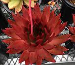메릴그림 자구 중묘 (Echeveria agavoides Meryl Grimm, offset)