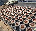 맥라이징(호주수입 1세대 번식) 랜덤발송
