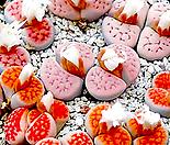 카라스몬타나 믹스 씨앗 (30립) /리톱스씨앗 ( Lithops karasmontana )---다육이 화분 비료 분갈이 철화 선인장 분재 꽃