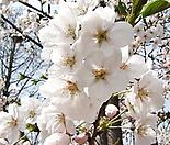 왕벚꽃나무 묘목♥왕벚 벚꽃 벗꽃 벚나무 벗나무