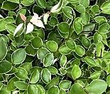 많이 풍성한 국민식물 호야 넝쿨식물 음지식물 공기정화식물