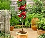 팅커벨 기둥사과 화분상품♥왜성 미니사과♥사과나무♥미니 사과 애기사과