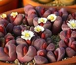 Rubra 씨앗(20립)