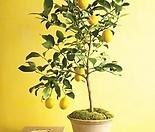 외목수형 레몬트리♥열매 열렸어요~♥열매열린 레몬트리♥노란열매 열리는 오리지널 레몬나무♥시트러스