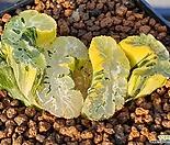 북재호반금(뿌리무)