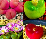 코노피튬 마우가니 씨앗 (10립) ( Conophytum maughanii )