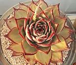 블랙로터스 환엽대형종 마리아