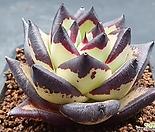 환엽 까망이 슈퍼클론251(뿌리무)