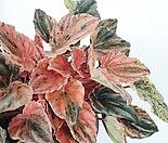 뉴핑크레이디페페 페페로미아 공기정화식물 한빛농원
