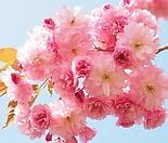 유럽풍 겹벚꽃나무 스탠다드 분달이 대품 특대품♥왜성 외목수형♥겹벚나무 겹벚 겹벗 벚꽃 벗꽃 벚나무 벗나무