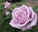 4계피스장미.블루문.예쁜 보라색.꽃향기좋음.꽃이 큰형.아주예뻐요.울타리장미.월동가능.상태굿.늦가을까지 피고 합니다.