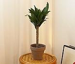 꽃이피는마을 콤팩타 40cm 그늘에서잘자라는식물 콤펙타