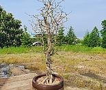 특상품 수형예쁜 코끼리나무(자빌리)높이80cm.