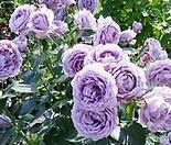 독일장미.4계.노발리스.예쁜라벤다블루색.블루보라색.old rose 향기.꽃10cm.아주예뻐요.정원장미.월동가능.상태굿.늦가을까지 피고 합니다.~~