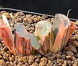 현무옥선 호반금(뿌리 튼튼)) 887