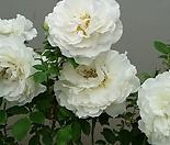 독일장미.4계.코스모스.사랑스런 크림 화이트색.old rose 향기.꽃8cm.아주예뻐요.정원장미.월동가능.상태굿.늦가을까지 피고 합니다.~~~