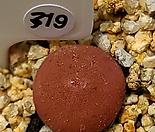 디프레섬 319  Conophytum depressum ssp. perdurans NE Tweefontein