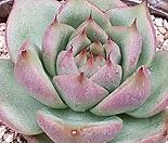 핑크로물들어가는) 환엽슈퍼카이저  0803-758
