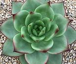 그레타가르보 자구 - 주성농원 (Echeveria agavoides 'Greta Garbo', offset)