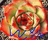 노블 엠마스톤 자구(Echeverria agavoides Emma Stone)뿌리무 자댄상품판매
