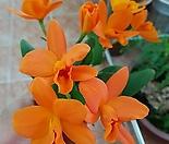 카틀레야 리틀썬.꽃수명 3개월에서4개월간다고 합니다.선명한주황색.너무 예뻐요.꽃집눈많이있어요.촉많음.잎사귀싱싱해요.