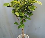 뱅갈고무나무+테라조시멘트화분(부경농원)
