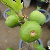 무화과나무-맛있는식용열매|