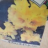 오렌지랜디 중 [엔젤아이스 ]작은꽃들이 연중으로피고지고화려해요 ]