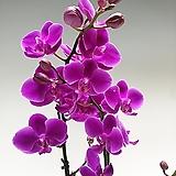 만천홍 쌍대-특A급