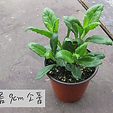 명월초 지름 9cm소품화분|Sedum nussbaumerianum