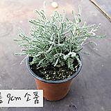 산토리나 (코튼라벤다 Santolina 코튼라벤더) 지름 9cm 허브화분 허브(5000원 이상 배송가능)