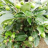 애기사과분재-영양풍부식용열매두꺼운목대|
