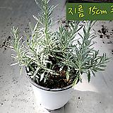 마리노라벤더(Marino Lavender) 지름 15cm중품화분 허브|