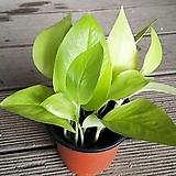 형광스킨(소품)/야광스킨/스킨답서스/공기정화식물/넝쿨식물/식물/모종