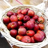 봄신상 사계성 레몬트리 외목수형♥노란열매 열리는 오리지널 레몬나무